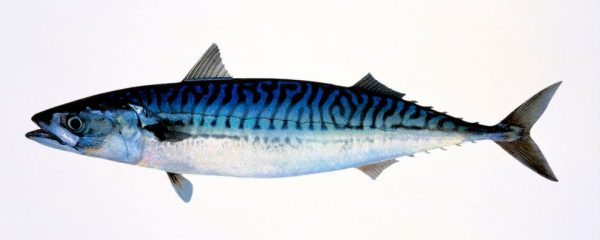 Makrell - Mackerel